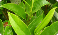Leaf CTC Tea