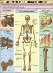 Joints of The Body Human Physiology Chart