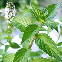 Spearmint Oil 80%+