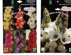gladiolus flowering bulbs