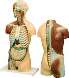 Human Torso With Muscles & Open Back