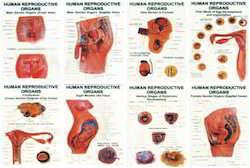 Human Repro-ductive Organs (Set of 8)