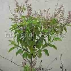 Tulsi Hair Care Products