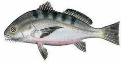 t t croaker sea food