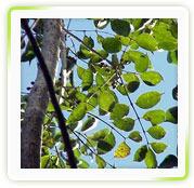 Boswellia Serrata Ext.( Boswellic Acid Upto 95)