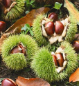 Organic Fresh Chestnut