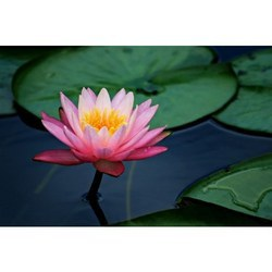 Lotus Perfume Oils