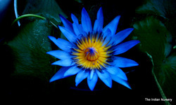 Blue Water Lily(Aquatic plants)