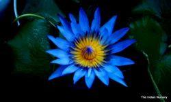 Blue Water  plants