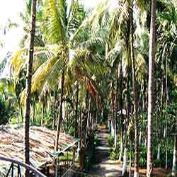 Five Acre Area Covered With Coconut Trees