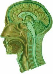 Human Head & Neck