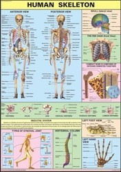 The Skeleton For Human Physiology Chart