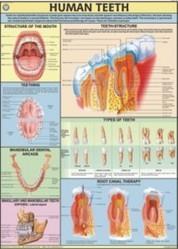Human Teeth  For Human Physiology Chart
