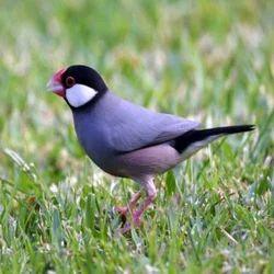 Java Birds