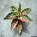 Red Aglaonema Legacy