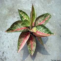 Red Aglaonema Legacy Plants