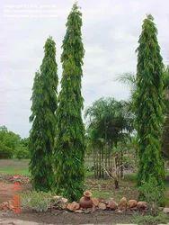 Ashoka+Plants
