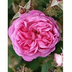 Rosa+Centifolia