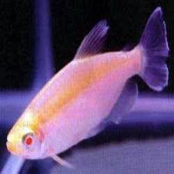 Les Poissons d'Aquarium fabriqués Albino-congo-tetra-250x250