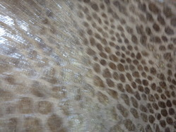 Split Brown Snake Foil