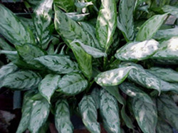 Aglaonema Commutatum Malay Beauty