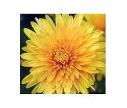 Chrysanthemum Oil