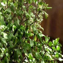 Tulsi Leaves/ Ocimum Sanctum