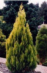 Thuja+Plant
