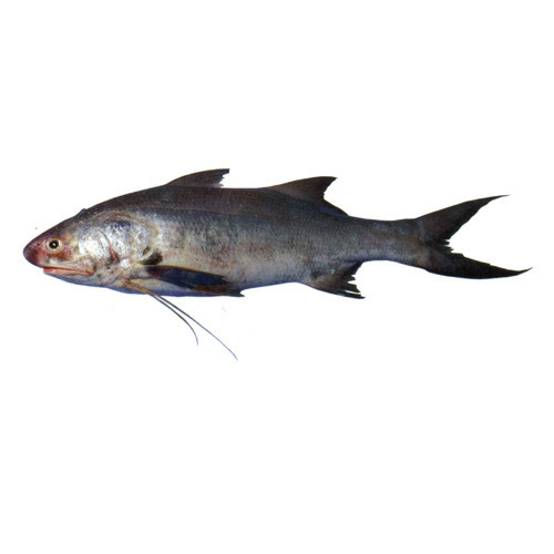 Threadfin Fish