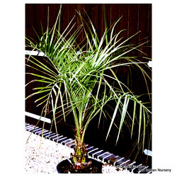 Butia Capitata(Jelly palm/ Palm Plants/ Palm Tree/ Palms)