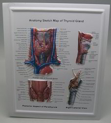 Anatomy Sketch map of Thyroid gland POP UP chart