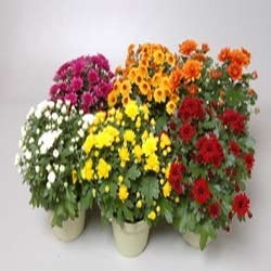 Chrysantemum and Dahlia (Winter flower - Rooted cuttings)