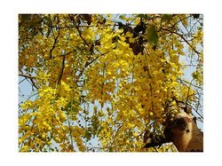 Indian Laburnum (Cassia Fistula)