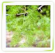 Asparagus Racemosus Extract ( Shatawari)