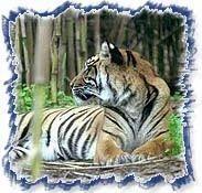 Taj and Tigers 03
