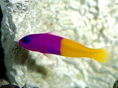 Dottyback Fish | Most Beautiful Fishes Bicolor Dottyback Manufacturer From Vapi