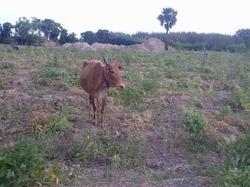 Daily Fresh Desi Cow Milk,Keerai Against Order