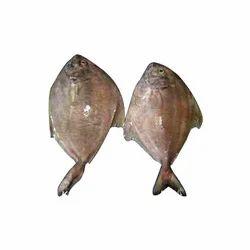 Pomfret Fish in Pune, Maharashtra, Pomfret Balamash Suppliers, Dealers & Manufacturers