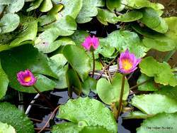 Miniature Water lily ( Aquatic plant )