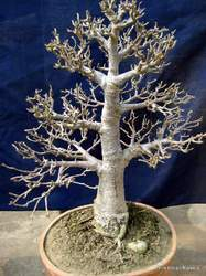 Rare Very Old Bonsai Plants