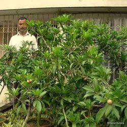 Grafted Sapota Fruit Plants