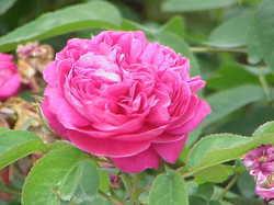 Rose Damascena Oil