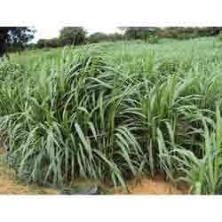 High Yield Energy Crop-King Grass