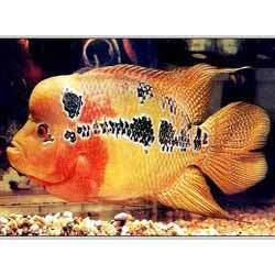 Flowerhorn+Fish