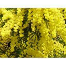 Mimosa Perfume Oils