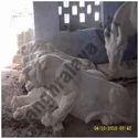 Three Tigers Statue