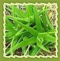 Aloe, Aloe Vera, Indian Aloe
