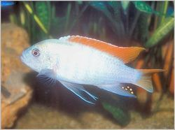 Red Top Malawi Chichlid Fish