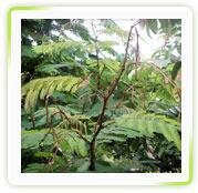 Acacia Concinna ( Shikakai) Extract
