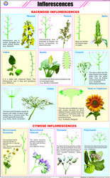 Inflorescences  For Botany Chart